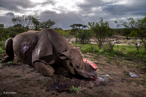 A photo of butchered rhino wins 2017 Wildlife Photographer of the Year