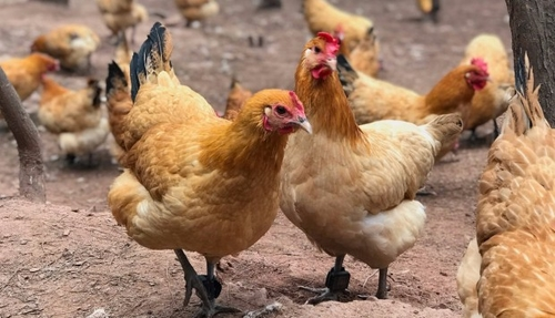 Insurtech giant ZhongAn plans to use facial recognition, blockchain to monitor chickens