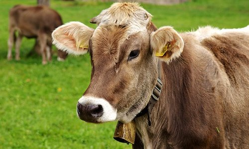 Man who 'doesn't like cows' in farm inheritance battle