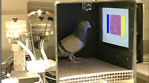 If a Pigeon can spot cancer, could a computer vision system spot it?