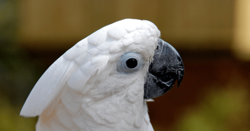 What can we learn from a Cockatoo?