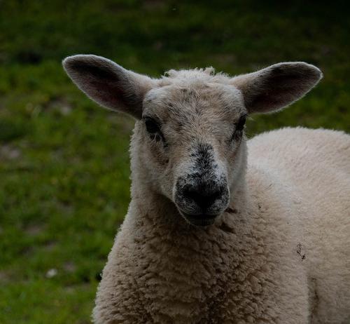 100% British Lamb- A triumph for British Farmers