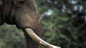 Disparition des éléphants : quand la communication s'échoue sur les rives du consumérisme