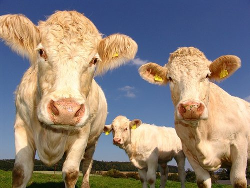 DO Consumers Know The Difference Between An Almond and A Cow?