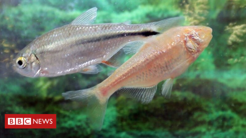 Fish genes could lead to advances in human heart treatments